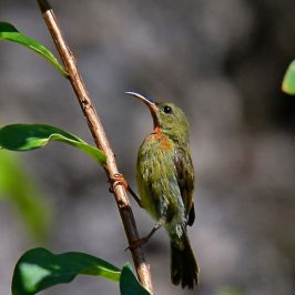 Crimson Sunbird – juveniles assuming adult male plumage