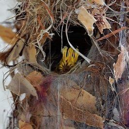 Olive-backed Sunbird feeding chicks and removing faecal sac