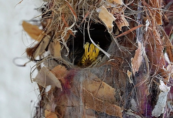 Chick's vent lined with yellow feathers (video grab_