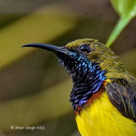 Olive-backed Sunbird – morphological aspects
