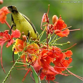 Olive-backed Sunbird and <em>Caesalpinia pulcherrima</em>