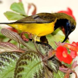 Olive-Back Sunbird and Flowering Plants
