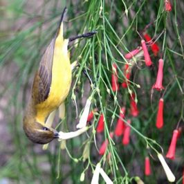 Sunbird probing 78 flowers in 5 minutes for nectar