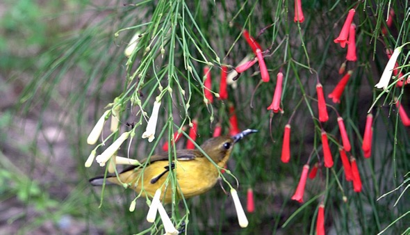 Olive-backed Sunbird taking nectar from Firecracker Plant (Photo credit: YC Wee)