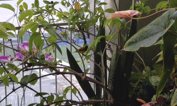 Olive-backed Sunbirds among the Garlic Vine by Jui Ng