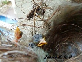 Updates on the Olive-backed Sunbirds' nesting –  A casualty