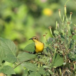 Olive-backed Sunbird collecting fruits of <em>Porophyllum ruderale</em> (F: Asteraceae)