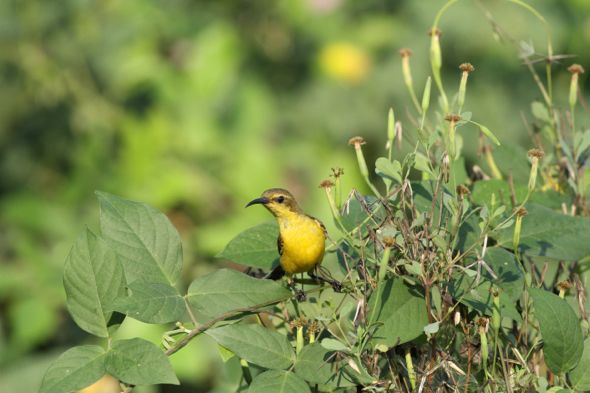 Olive-backed Sunbird collecting fruits of Porophyllum ruderale (F: Asteraceae)