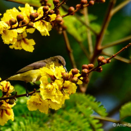 Olive-backed Sunbird feeding on Yellow Flame flowers