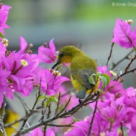 Olive-backed Sunbird – nectar from Bougainvillea