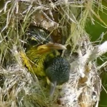 Malayan Water Monitor preyed on a sunbird chick