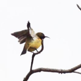 Olive-backed Sunbird in comfort behavior