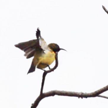 Olive-backed Sunbird in comfort behavior