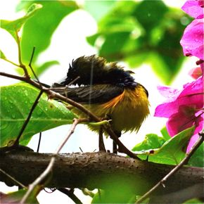 Olive-backed Sunbird displaying pectoral tufts in the drizzle