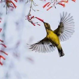 Olive-backed Sunbird harvesting nectar of Firecracker Plant (<em>Russelia equisetiformis</em>) flower