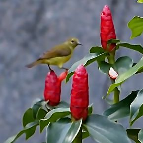 Olive-backed Sunbird harvesting nectar from Costus woodsonii flowers