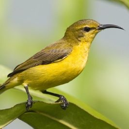 Olive-backed Sunbird nesting: 1. Judy Raft's experience…