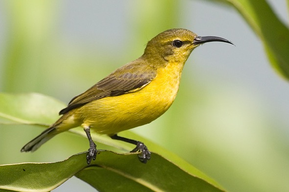 Female Olive-backed Sunbird (Photo credit: Dr Eric Tan)