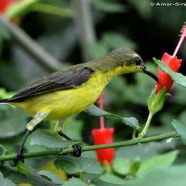 Olive-backed Sunbird robbing nectar from <em>Malvaviscus</em>