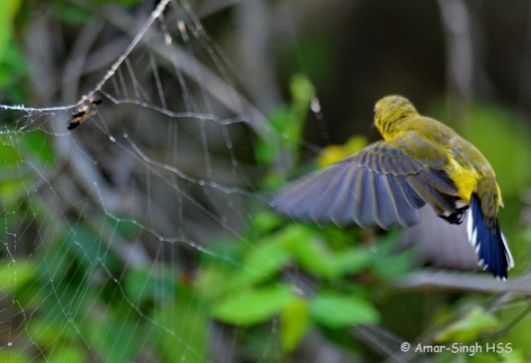SunbirdOB-f spider [AmarSingh] 2