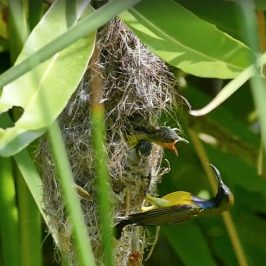 Olive-backed Sunbird: Feeding nestling or attempted infanticide