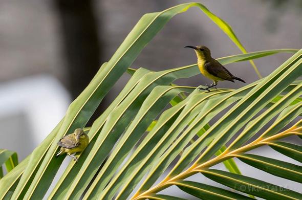 SunbirdOB-fledgling [VTanBengKwang] 6