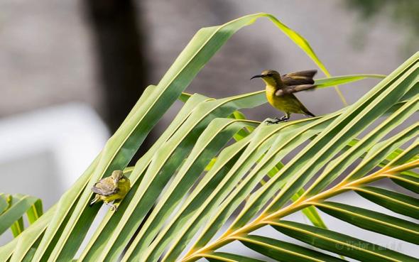 SunbirdOB-fledgling [VTanBengKwang] 7