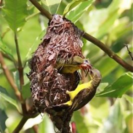 Olive-backed Sunbird feeding chicks