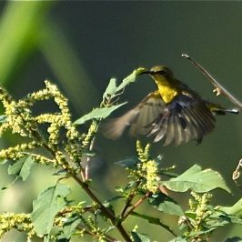 Olive-backed Sunbird hovering