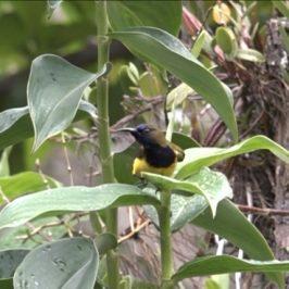 Olive-backed Sunbird having a leaf bath