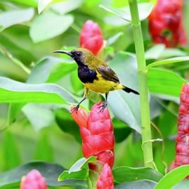 Olive-backed Sunbird steals nectar from <em>Costus woodsonii</em> flowers