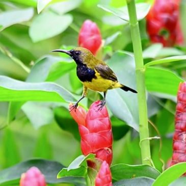 Olive-backed Sunbird steals nectar from Costus woodsonii flowers