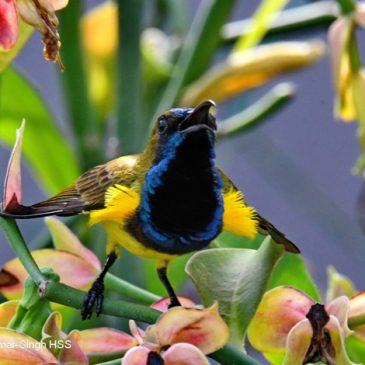 Olive-backed Sunbird Cinnyris jugularis flammaxillaris – pectoral tuft