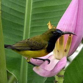 Olive-backed Sunbird stealing nectar from <em>Musa ornata</em>