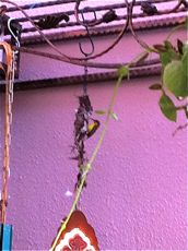Judy Quah's sunbirds are back