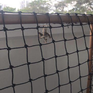 Nesting of Olive-backed Sunbird on floor ball goal post netting