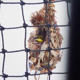 Update on Olive-backed Sunbird nesting on floor ball post