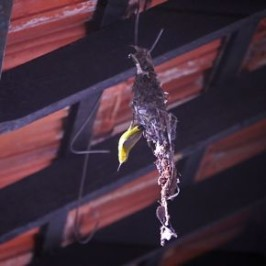 """Olive-backed Sunbird nesting: SPIDER ISSUES """"STOP WORK"""" ORDER"""
