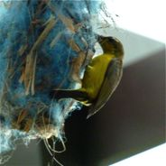 Olive-backed Sunbird's blue nest: Continuing saga