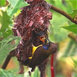 Olive-backed Sunbirds feeding chicks