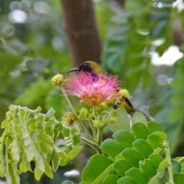 Olive-backed Sunbird – nectar of the Rain Tree