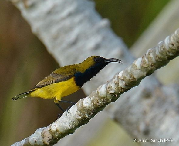 Olive-backed Sunbird – spider prey