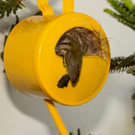 Olive-backed Sunbird nesting in a watering pot