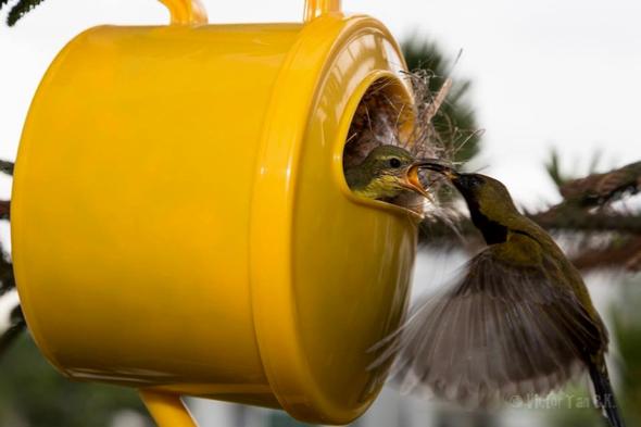 SunbirdOB-watering pot [VTanBengKwang] 3