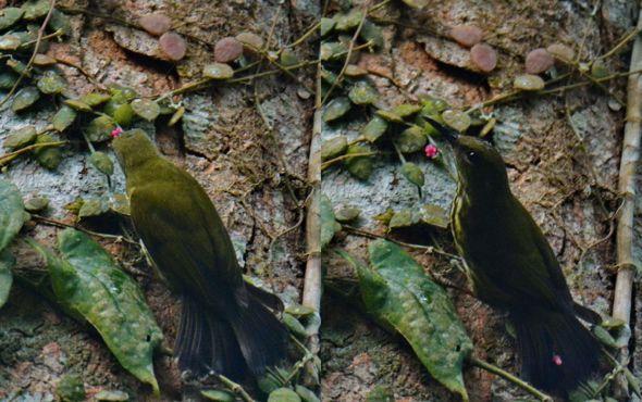 Purple-naped Sunbird – nectar feeding