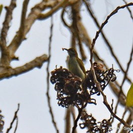 Plain Sunbird feeding on Acacia mangium arils/seeds