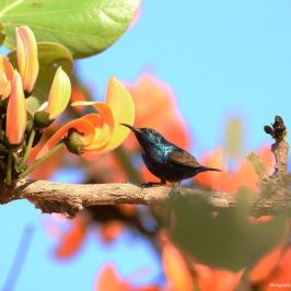 Purple Sunbird and <em>Butea monosperma</em>