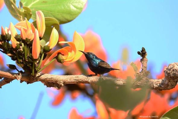 SunbirdPu-Butea monosperma [Santi Xayyasith]