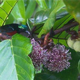 <em>Poikilospermum suaveolens</em> (Urticaceae) and birds