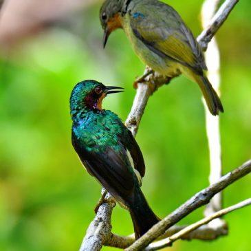 Ruby-cheeked Sunbird – family unit